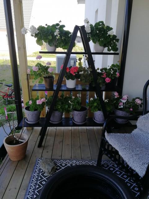 Färdig blomhylla med några av pelargonerna!